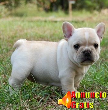 bulldog french-